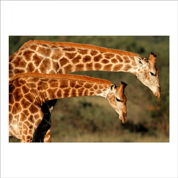 fotomurales para pared jirafas